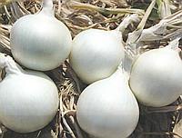 Айсперл F1 - лук репчатый белый, 250 000 семян, Bejo (Бейо), Голландия фото, цена