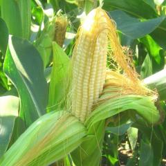 P8529 - кукуруза, 80 000 семян, Pioneer (Пионер), Украина фото, цена