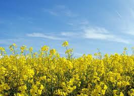 Седонна ДК, рапс, 1 п.е. (1,5 млн. шт), Monsanto/Монсанто (США) фото, цена