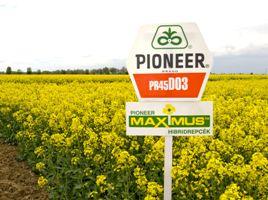 45D03, рапс, 1 п.е. (2 млн. шт) Pioneer/Пионер фото, цена