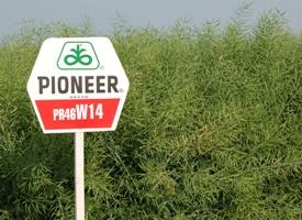 46W14 , рапс, 1 п.е. (2 млн. шт) Pioneer/Пионер фото, цена