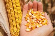 P8659 - кукуруза, 80 000 семян, Pioneer (Пионер) фото, цена