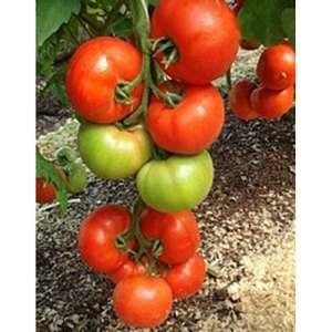 Алексия F1 - томат индетерминантный, 500 семян, Seminis (Семинис) Голландия фото, цена