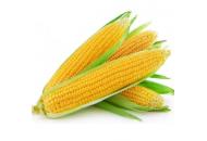 Турбин F1 - кукуруза сахарная, 1 кг, Clause Франция