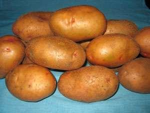 Серпанок - картофель ранний 10 кг (Украина) фото, цена