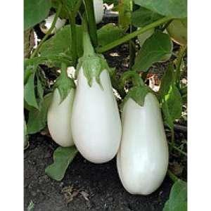 Бибо F1 - семена баклажана, 1000 семян, Seminis/Семинис (Голландия) фото, цена