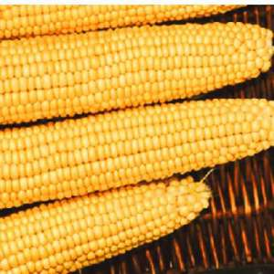 Мегатон F1 - кукуруза, 1 кг, Clause (Франция)- Фасовка  фото, цена