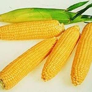 Леженд F1 - кукуруза сахарная, 10 кг, Clause Франция фото, цена