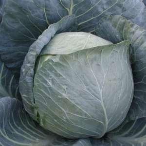 Браво F1 - капуста белокочанная, 10 000 семян, Clause Франция фото, цена