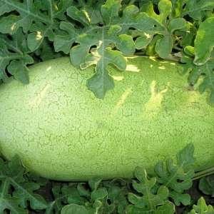 Чарльстон Грей - арбуз, 0,5 кг, Clause (Клаус), Франция фото, цена