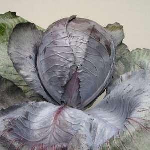Гаранси F1 - капуста краснокочанная, 10 000 семян, Clause Франция фото, цена