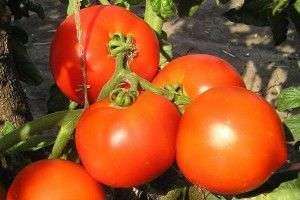 Гектор F1 - томат детерминантный, 5 г, Clause (Клоз), Франция фото, цена