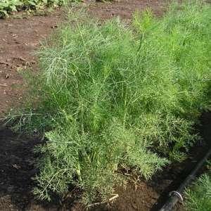 Дилл - укроп, 0,5 кг семян, Clause Франция фото, цена
