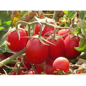 Калиендо F1 - томат детерминантный, 25 000 семян, Esasem Италия фото, цена