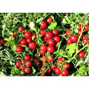 Руфус F1 - томат детерминантный, 25 000 семян, Esasem Италия фото, цена