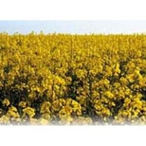 Алонсо ЕС (Рустика), рапс, 1 п.е.(1,5 млн. шт), Euralis Semences / Евралис Семенс (Франция) фото, цена