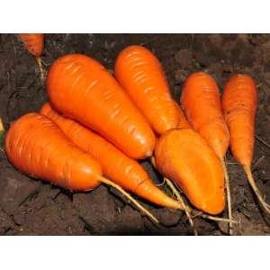 Шантане Ред Кор - морковь, 0,5 кг., Griffaton (Гриффатон), Франция фото, цена
