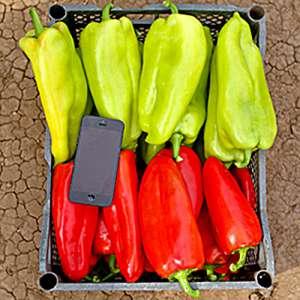 Бугатти - перец сладкий, 2000 семян, Украина фото, цена