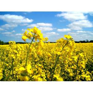 Артус - рапс, 1,5 млн. семян, Lembke Германия фото, цена
