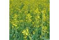 Ксенон - рапс, 1,5 млн. семян, Lembke Германия