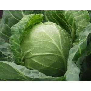 Годвари F1 - капуста белокочанная, 1000 семян, Clause Франция фото, цена