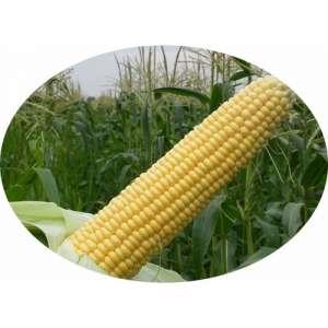 Астролайт F1 - кукуруза сахарная, 1 кг, Agri Saaten Германия (5000 семян) фото, цена