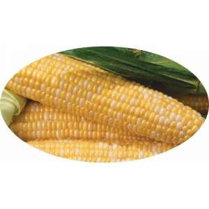 Либертон F1 - кукуруза сахарная, 1 кг, Agri Saaten Германия фото, цена