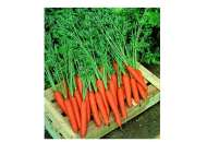 Престо F1 - морковь, 100 000 семян, Nickerson Zwaan