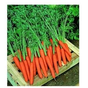 Престо F1 - морковь, 100 000 семян, Nickerson Zwaan  фото, цена
