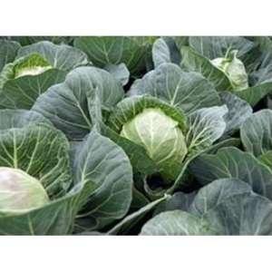 Веронор F1 - капуста белокочанная, 2500 семян, Syngenta фото, цена