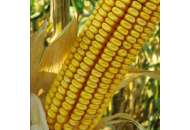 ДКС 3795 - кукуруза, 80 000 семян, Monsanto США