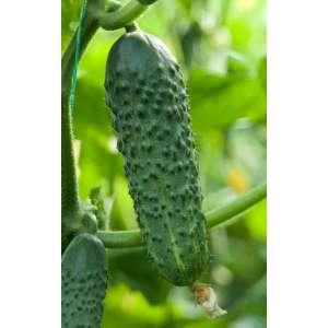 Наско № 2012 F1 - огурец партенокрпический, 100 семян, Nasko Украина фото, цена