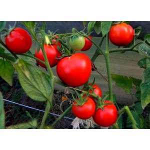 Яна - томат детерминантный, 10 000 семян, Nasko Украина фото, цена