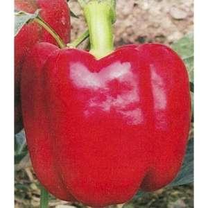 Красный Рыцарь F1 - перец сладкий, 500 семян, Seminis (Семинис) Голландия фото, цена