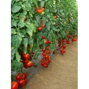 Мишель F1 - томат индетерминантный, 1000 семян, Sakata фото, цена