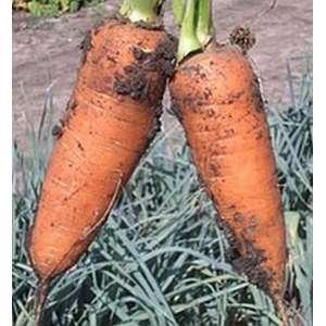 Шантане - морковь, 500 гр, Clause (Клоз) Франция фото, цена