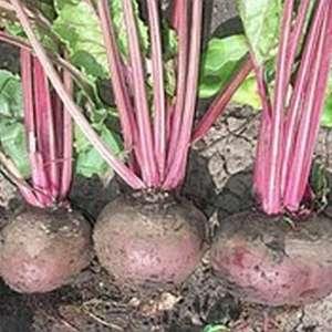 Детройт - свекла столовая, 1 кг. семян, Tezier (Тезиер) Франция фото, цена