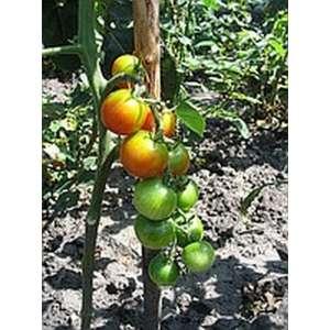 Гармония F1 - томат индетерминантный, 1000 семян, Tezier (Тезиер) Франция фото, цена