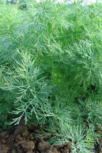 Оливер - семена укропа, 100 гр., Moravoseed (Моравосид), Чехия фото, цена