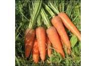 Курода Шантане - морковь,  500 гр., United Genetics (Юнайтед  Дженетикс), США