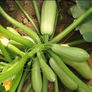 Карамболь F1 - кабачок, 500 семян United Genetics (США) фото, цена