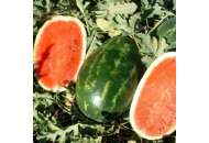 Эрли Саманта F1 - арбуз,1000 семян, United Genetics (США)