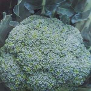 Батавия F1 - капуста брокколи, 2500 семян, Bejo Голландия фото, цена