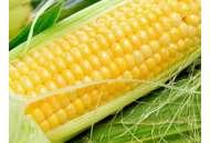Днепровский 257 СВ - кукуруза, 80 000 семян