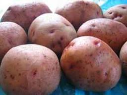 Повинь - картофель ранний 10 кг (Украина) фото, цена