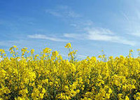 Абакус - рапс, 1,5 млн. семян, Lembke Германия фото, цена