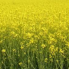 НПЦ 9800 - рапс, 1,5 млн. семян, Lembke Германия фото, цена