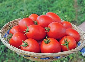 Намиб F1 - томат детерминантный, 2500 семян Syngenta фото, цена