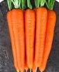 Нантес Скарлет - морковь, 500 грамм, United Genetics (США) фото, цена