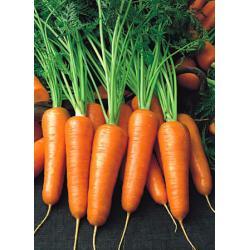 Шантане РэдКор - морковь, 500 грамм, United Genetics фото, цена